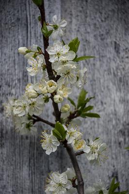 Körsbärsblom